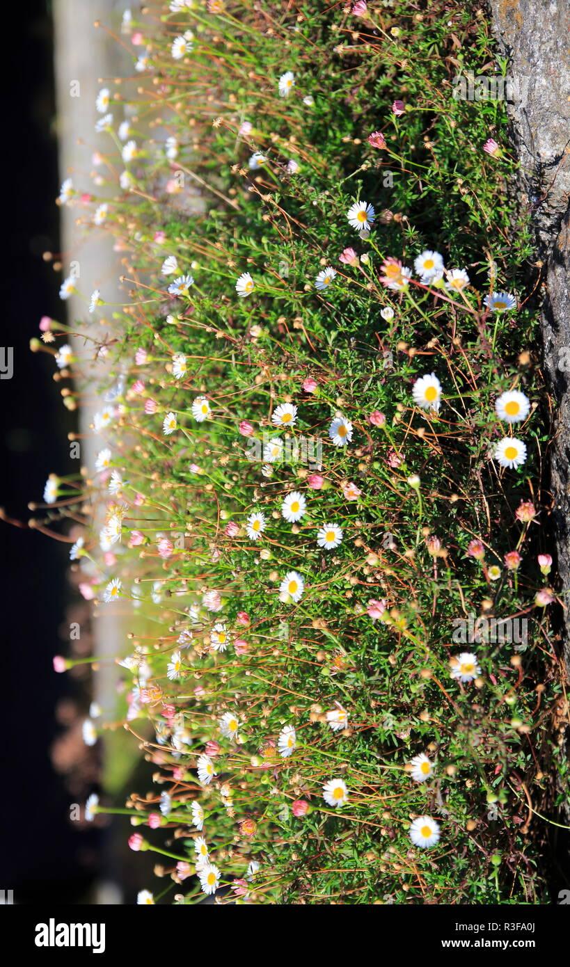 Gänseblümchen wächst auf einer kleinen Wiese an einer Mauer hoch - Stock Image