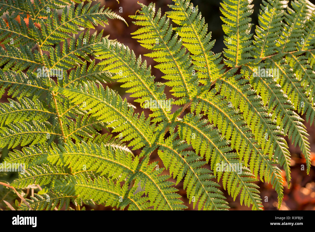 Close view of the leaves of Dickinsonia antartica, backlit. Garden in the Cotswolds - Westmancote,Worcestershire,UK - Stock Image