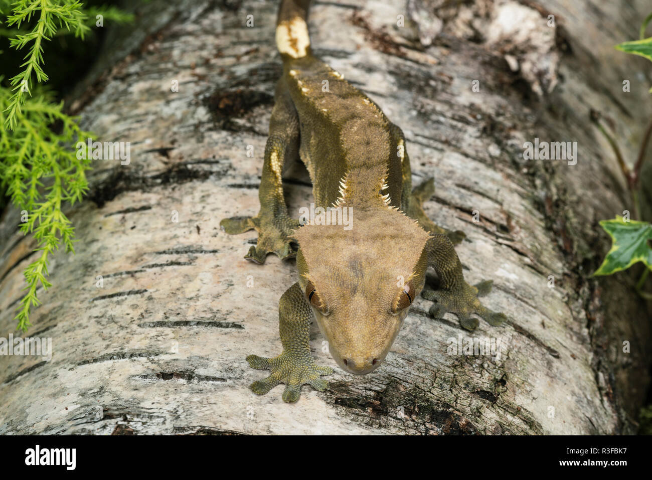 This crested gecko, native to New Caledonia, only has three populations left in the wild and is a vulnerable species. Stock Photo