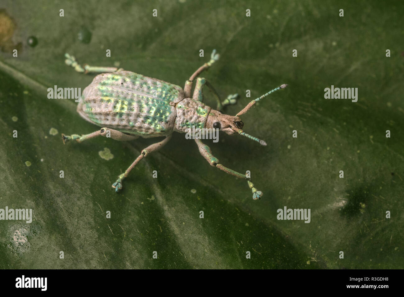 Broad-nosed Weevil Beetle (Entiminae) from Peru's Manu national park. - Stock Image