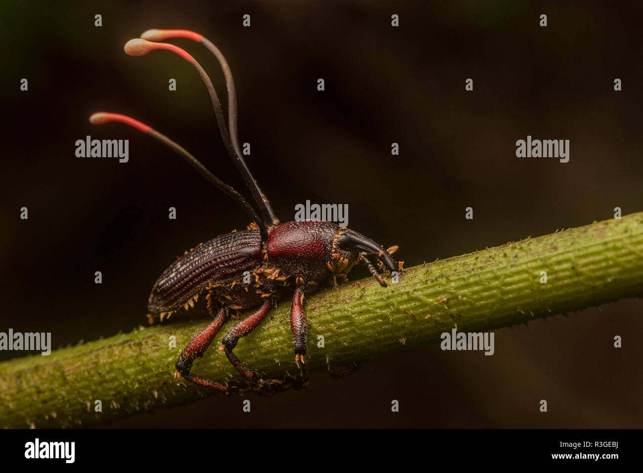 Ophiocordyceps curculionidae, a species of cordyceps fungus that specializes in attacking weevils. From Manu National Park, Peru. Stock Photo