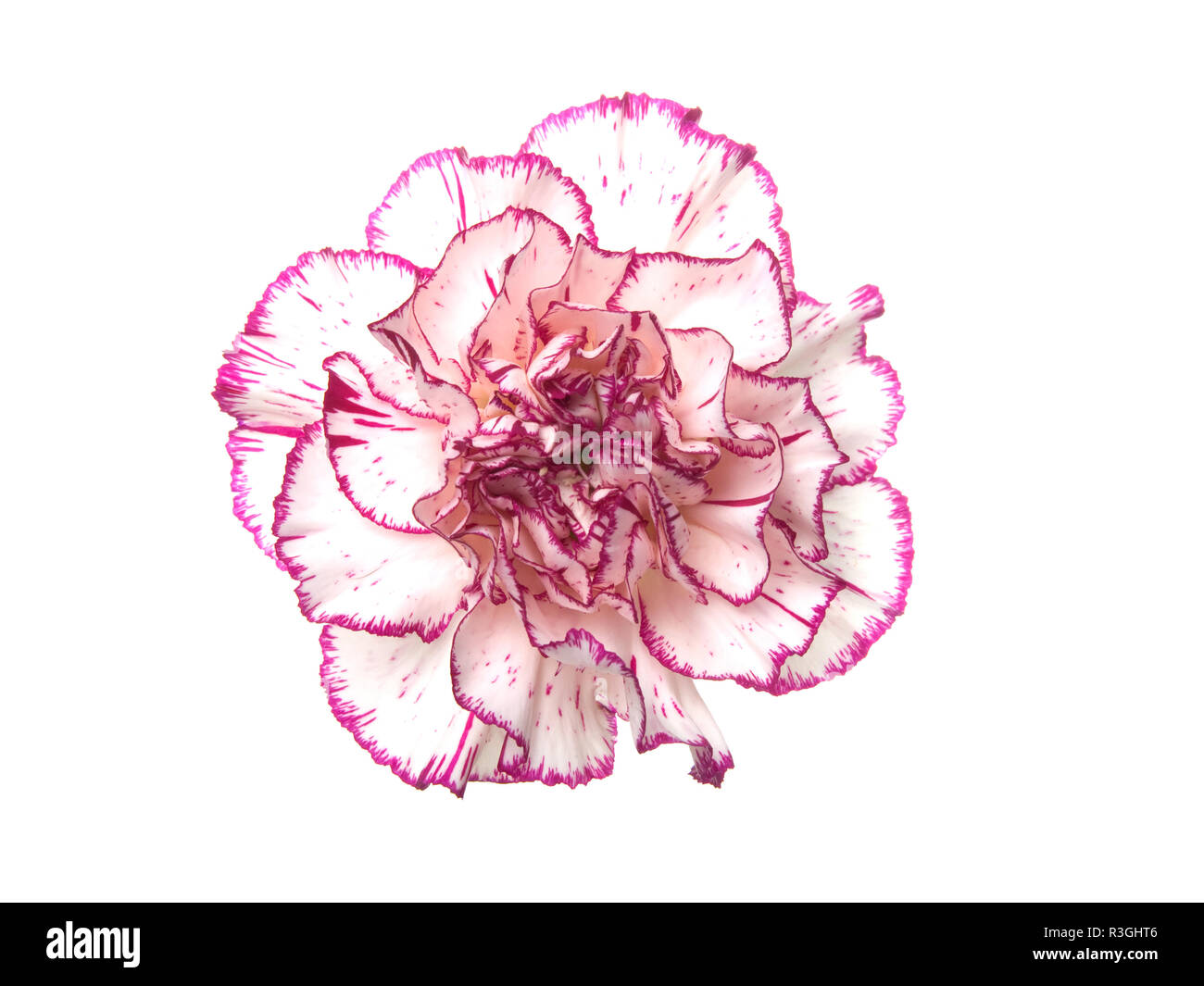 a white pink carnation - Stock Image