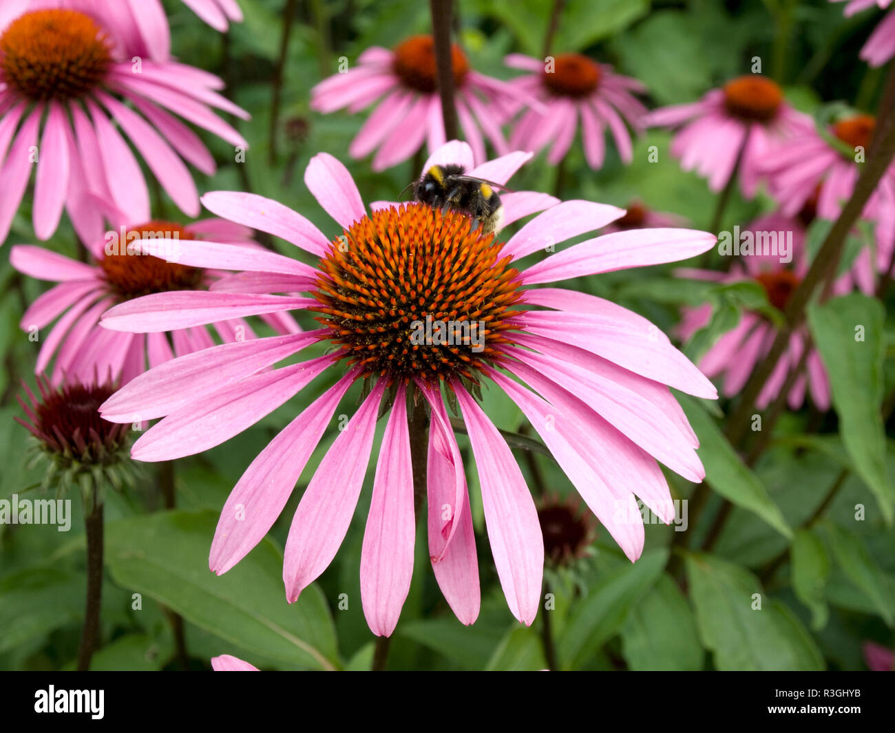 cone flower in field Stock Photo