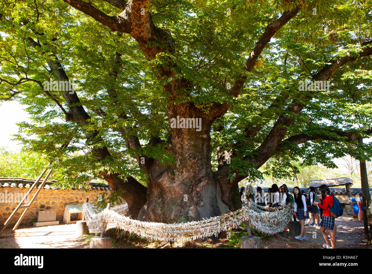 600 year old zelkova tree in Andong City, South Korea. - Stock Image