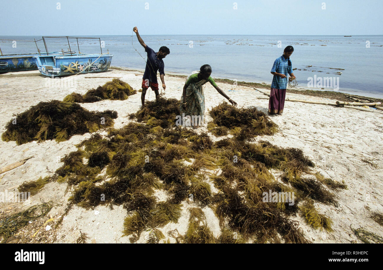 INDIA, Tamil Nadu, Gulf of Mannar  Pepsi Foods Ltd. Farm for seaweed cultivation, algae is used for processing of Agar-agar or Carrageenan as food additional for ice cream, Cola etc. / INDIEN, Tamil Nadu, Golf von Mannar, Pepsi Foods Ltd. Farm ffuer Kultivierung von Rotalgen, aus den Rotalgen werden Agar Agar gewonnen - Stock Image