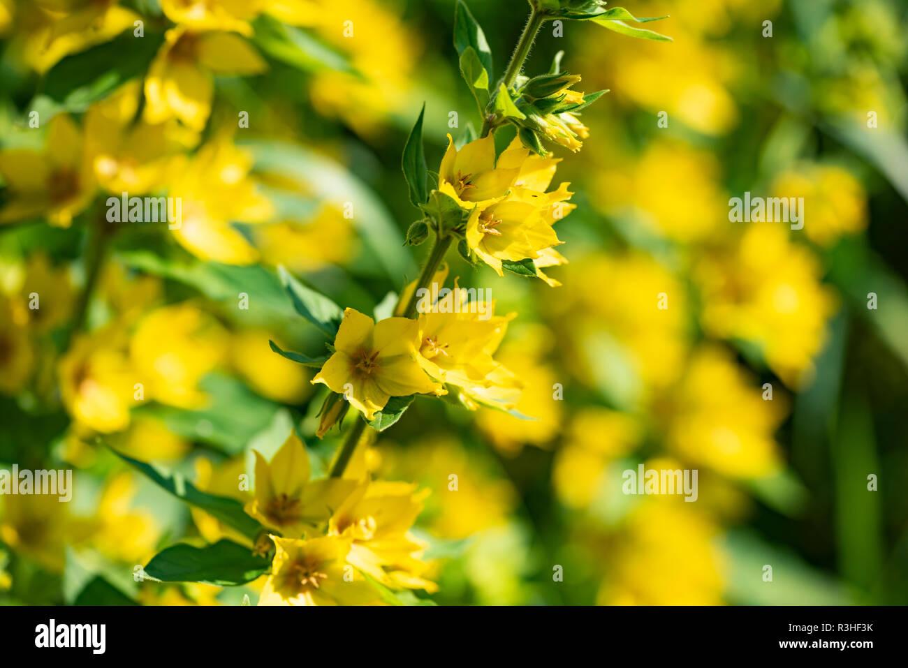 Yellow flowers of a perennial plant - Lysimachia vulgaris, close up. Stock Photo