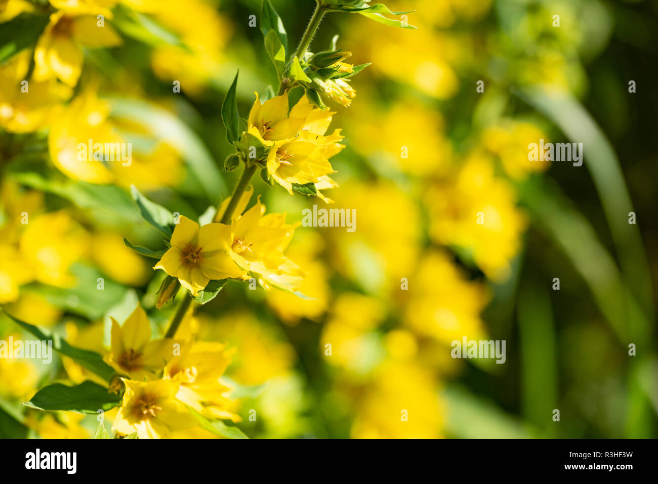 Yellow flowers of a perennial plant - Lysimachia vulgaris, close up. Stock Photo