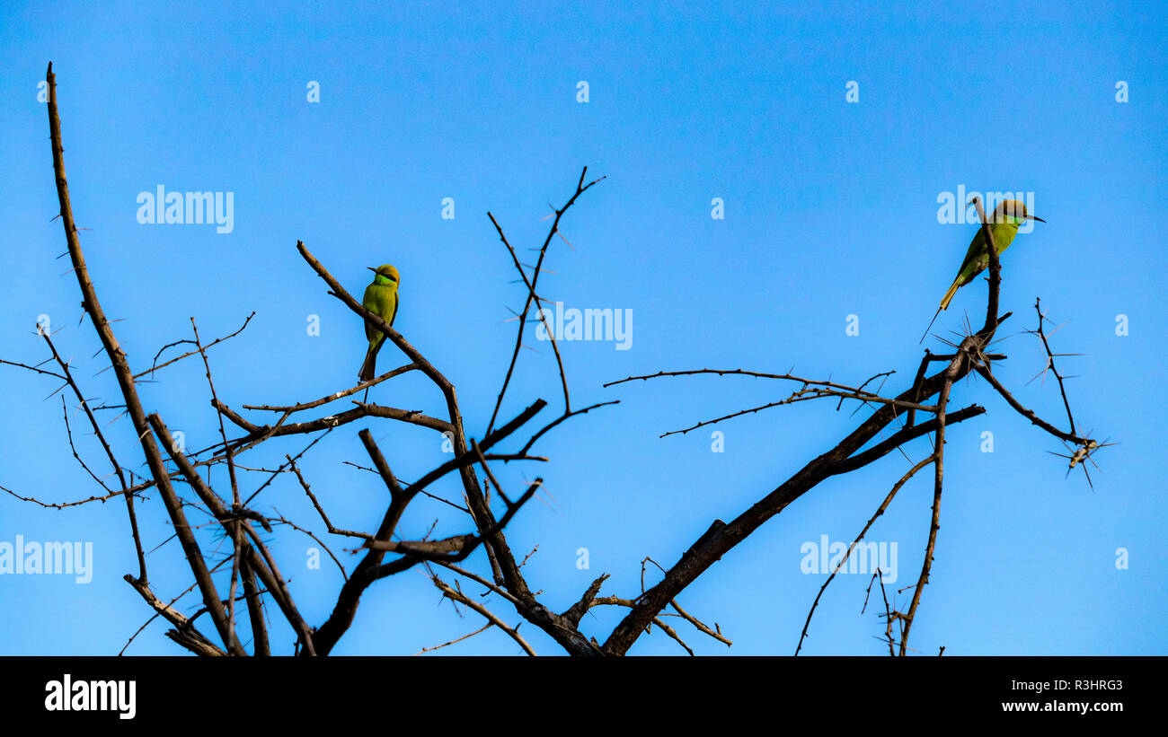 Two bee-eaters are sitting on a branch of tree - Stock Image