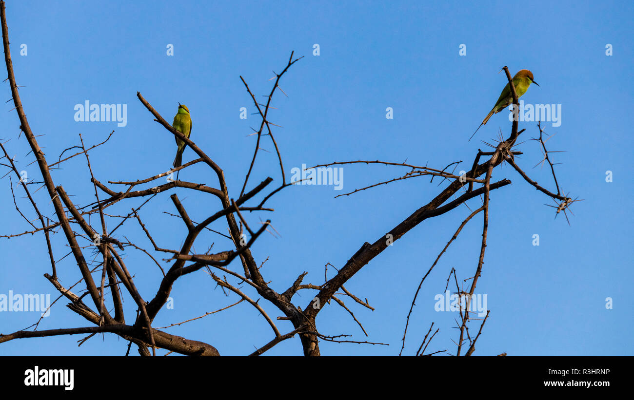 Two little Bee-eater birds are sitting on a branch of tree - Stock Image