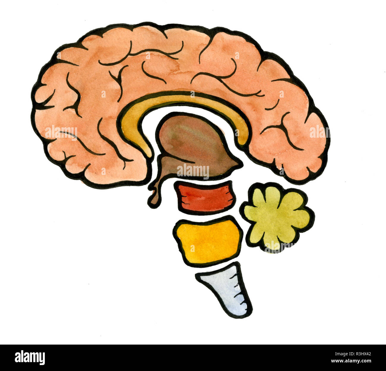 human brain,illustration - Stock Image
