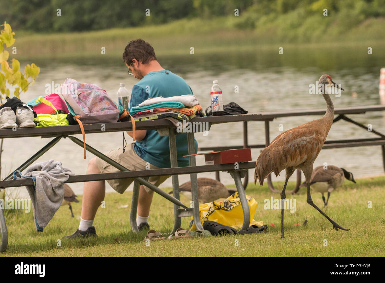 A sandhill crane (Grus canadensis) walks behind an oblivious picnicker in Ottawa lake recreation area in Wisconsin. - Stock Image