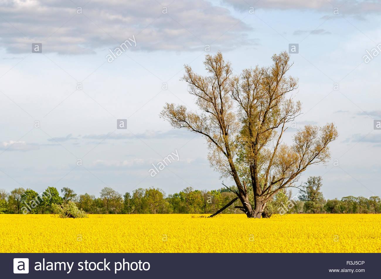 Rapsfeld mit einem Baum - Stock Image