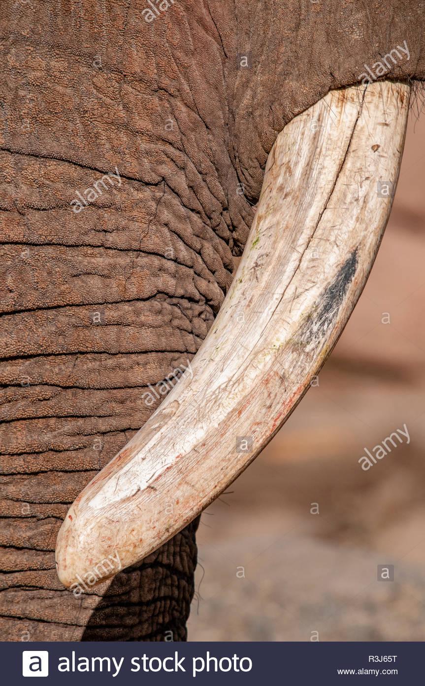 Der Stoßzahn eines Elefanten in der Nahaufnahme - Stock Image