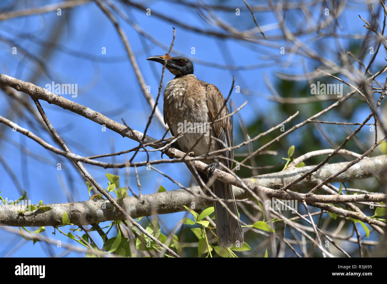 An Australian, Queensland Noisy Friarbird ( Philemon corniculatus ) resting perched on a tree branch Stock Photo