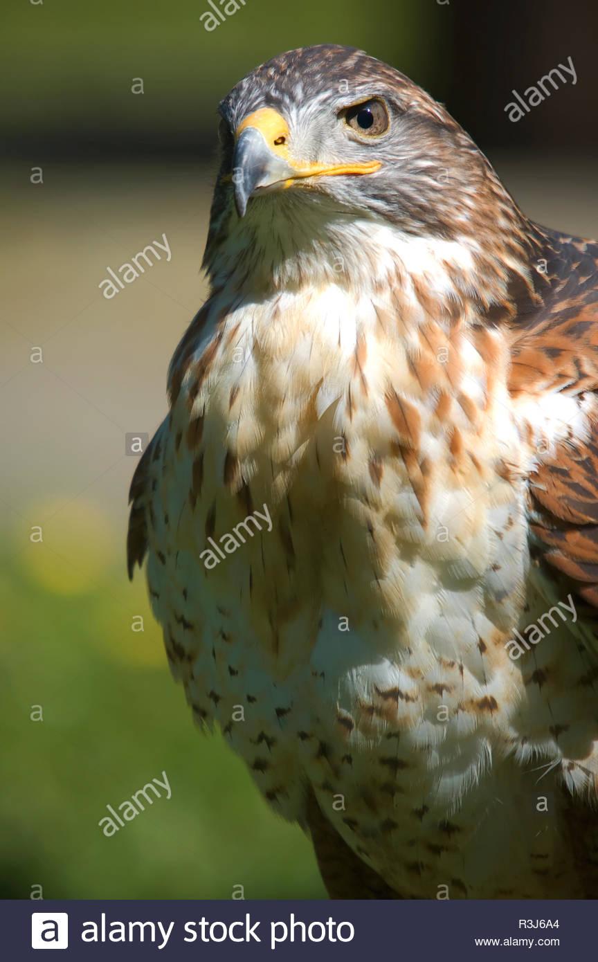 Adler Portrait - Stock Image