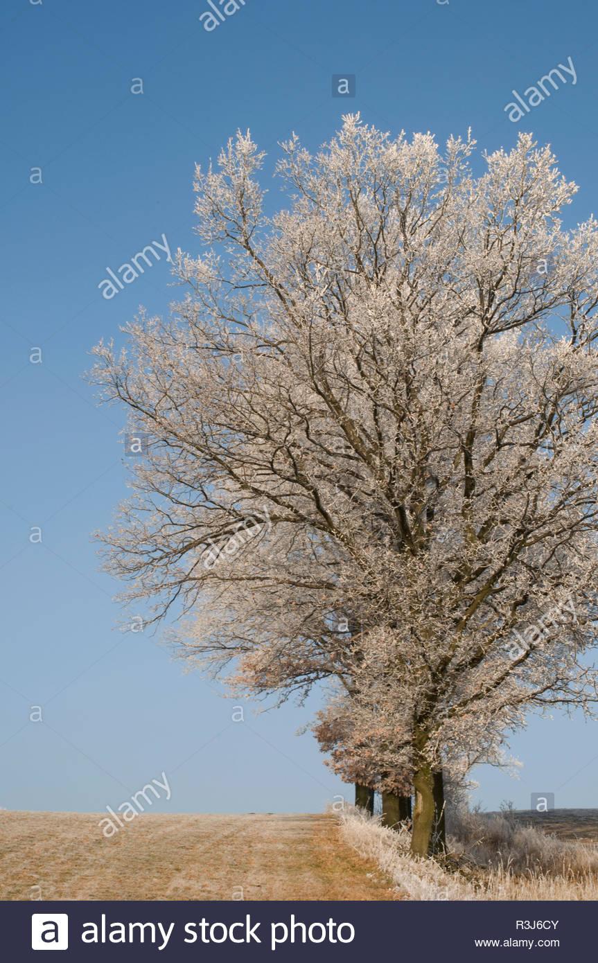 Bäume an einem Wintermorgen - Stock Image