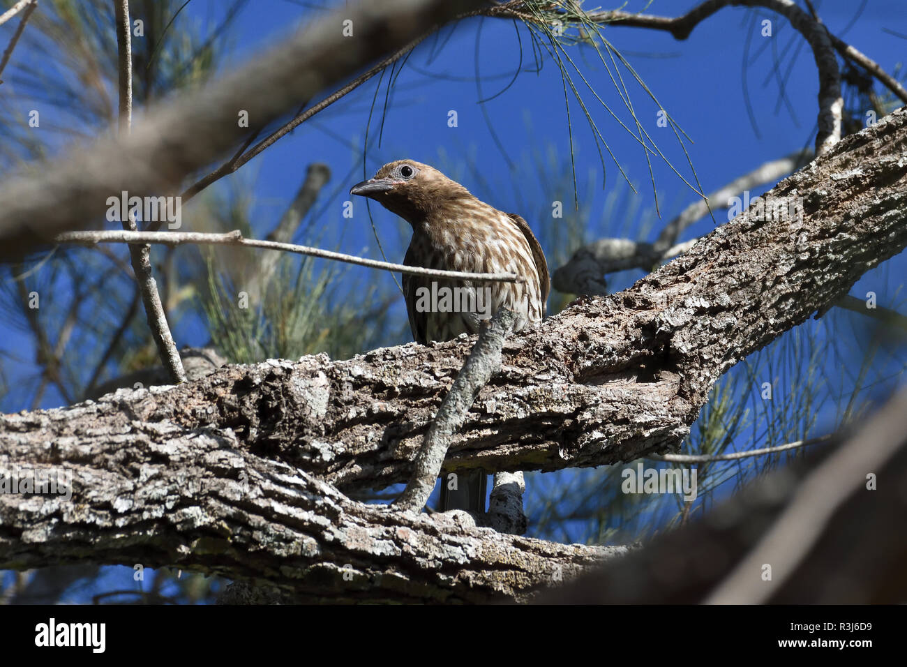 An Australian, Queensland Female Figbird ( Sphecotheres viridis ) resting perched on a tree branch Stock Photo