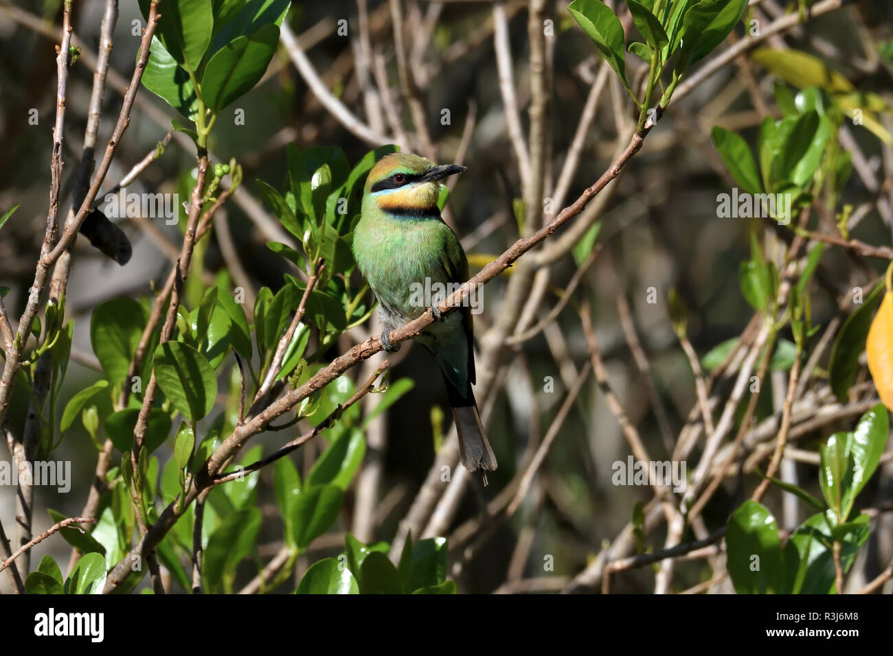 An Australian, Queensland Female Rainbow Bee-eater ( Merops ornatus ) well camouflaged perched on a tree branch looking for Bees - Stock Image