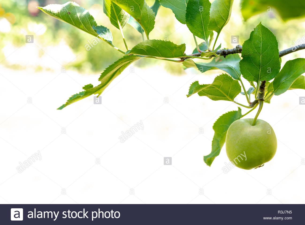 Frischer grüner reifer Apfel bei Sonnenschein mit Wassertropfen Stock Photo