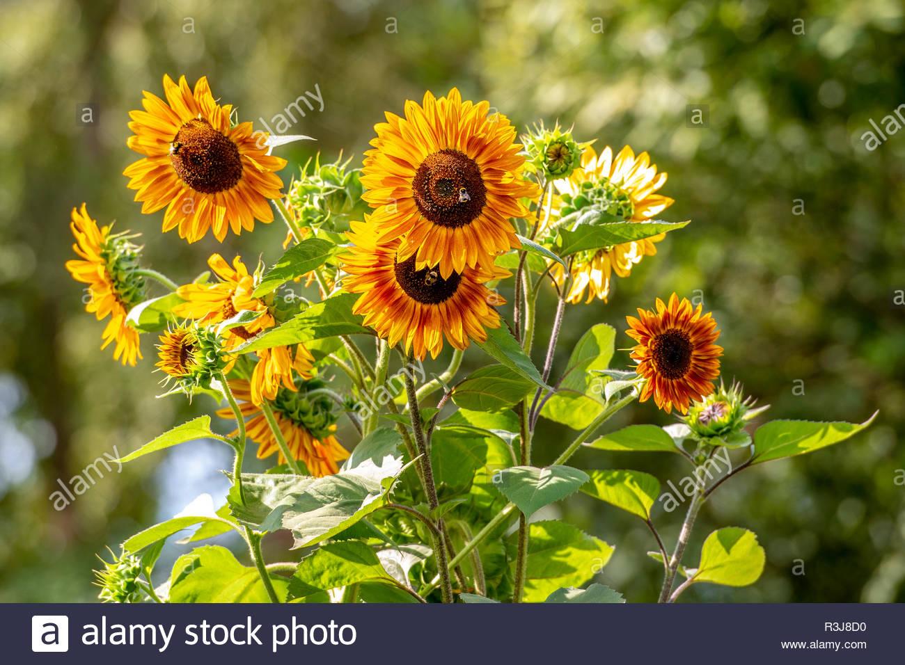 Sonnenblumen in der Sommersonne - Stock Image