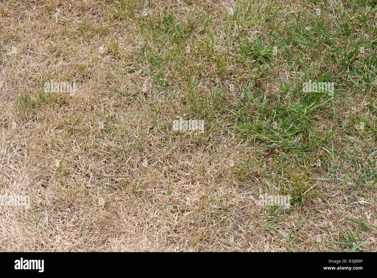 Parched, brown and dry garden lawn grass in a hot summer drought, Berkshire, July - Stock Image