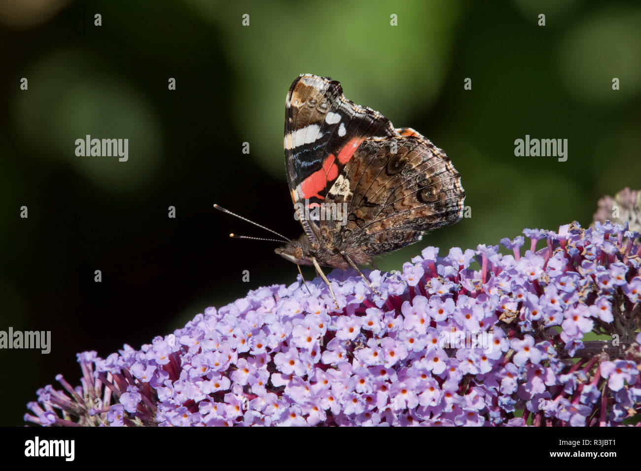 A red admiral butterfly, Vanessa atalanta, with wings closed nectar feeding on a Buddleia davidii, flower, August - Stock Image