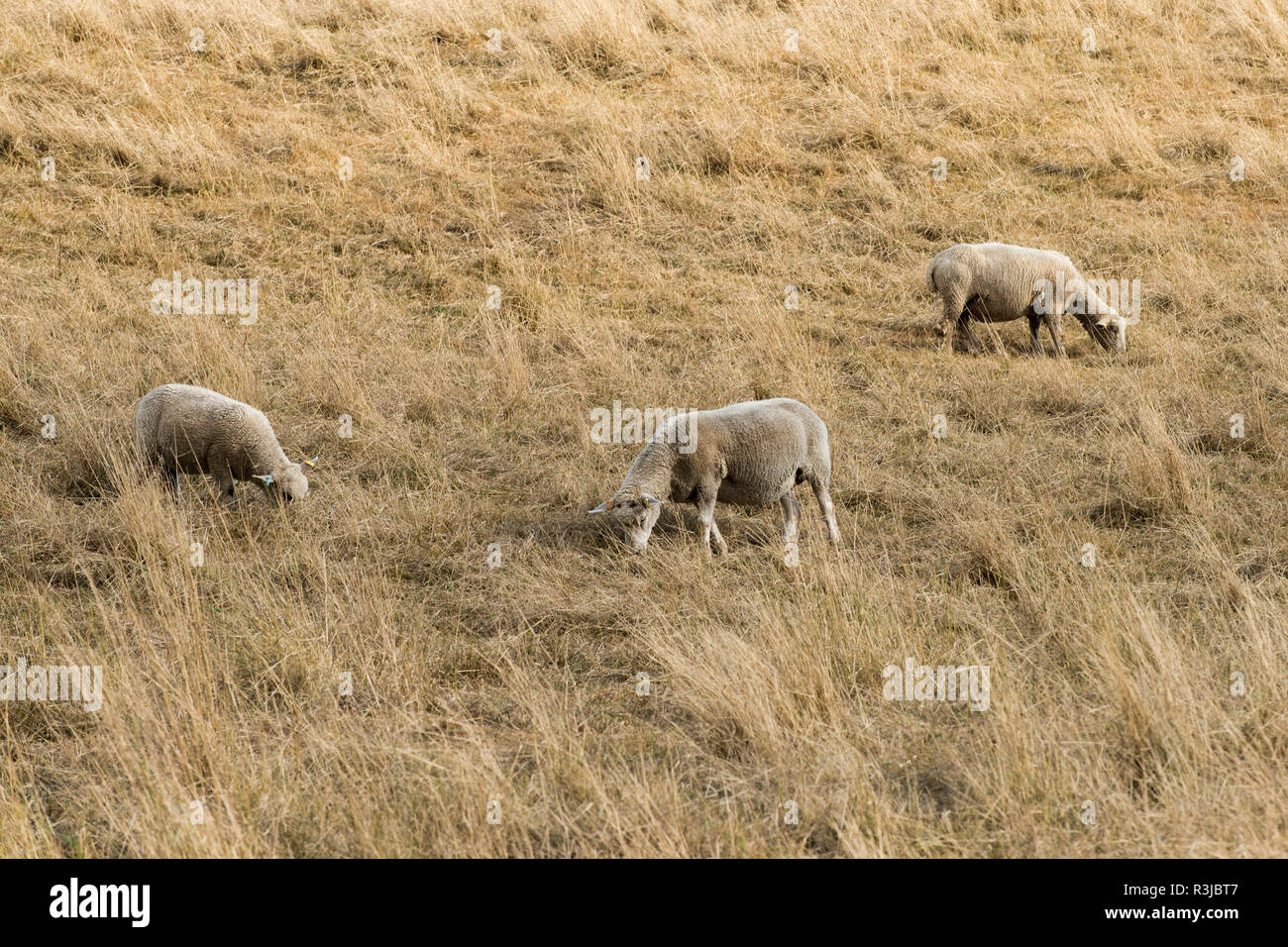 Mule sheep grazing on arid pasture during a long dry summer drought, Berkshire, August - Stock Image