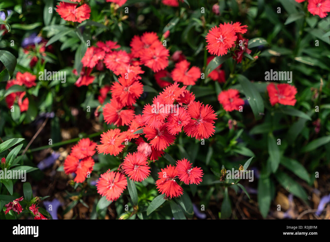 Dianthus Sweet Williams red flower - Stock Image