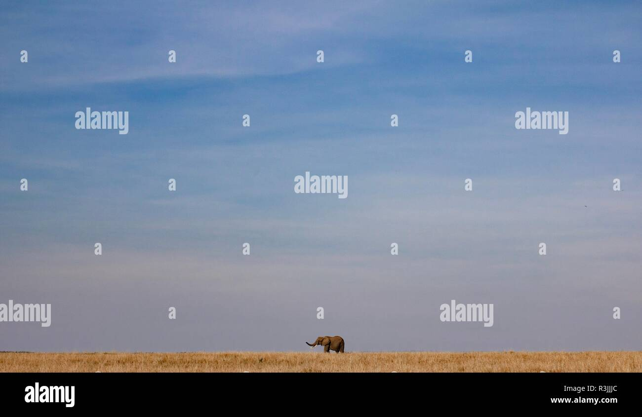 Elephant in the african savannah - Stock Image