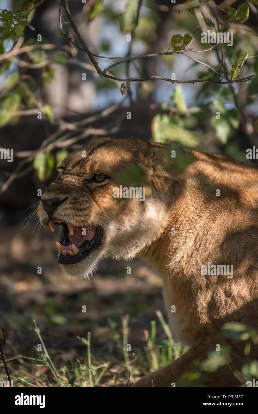 Africa, Botswana, Moremi Game Reserve. Snarling lioness in shade. Credit as: Jones & Shimlock / Jaynes Gallery / DanitaDelimont.com - Stock Image