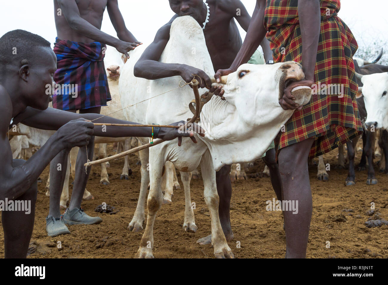 Africa, Ethiopia, Southern Omo Valley, Nyangatom Tribe. Men of the Nyangatom tribe prepare a steer to give blood. - Stock Image