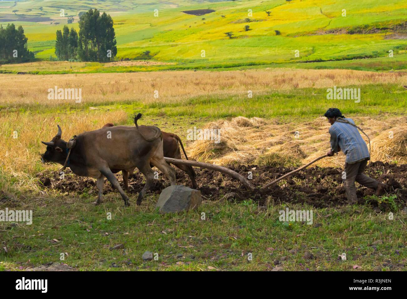 Farmer plough with cow in the farmland, Gondar, Ethiopia - Stock Image