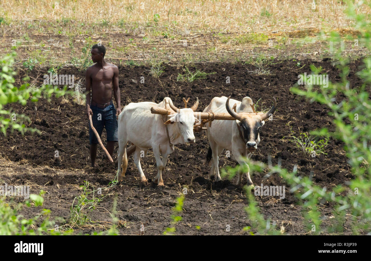 Farmer plowing with white cow, Konso, Ethiopia - Stock Image