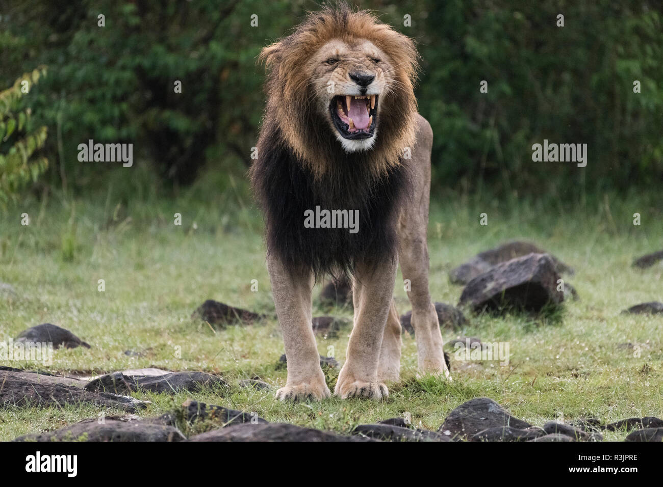 Africa, Kenya, Maasai Mara National Reserve. Snarling male lion. Credit as: Bill Young / Jaynes Gallery / DanitaDelimont.com - Stock Image