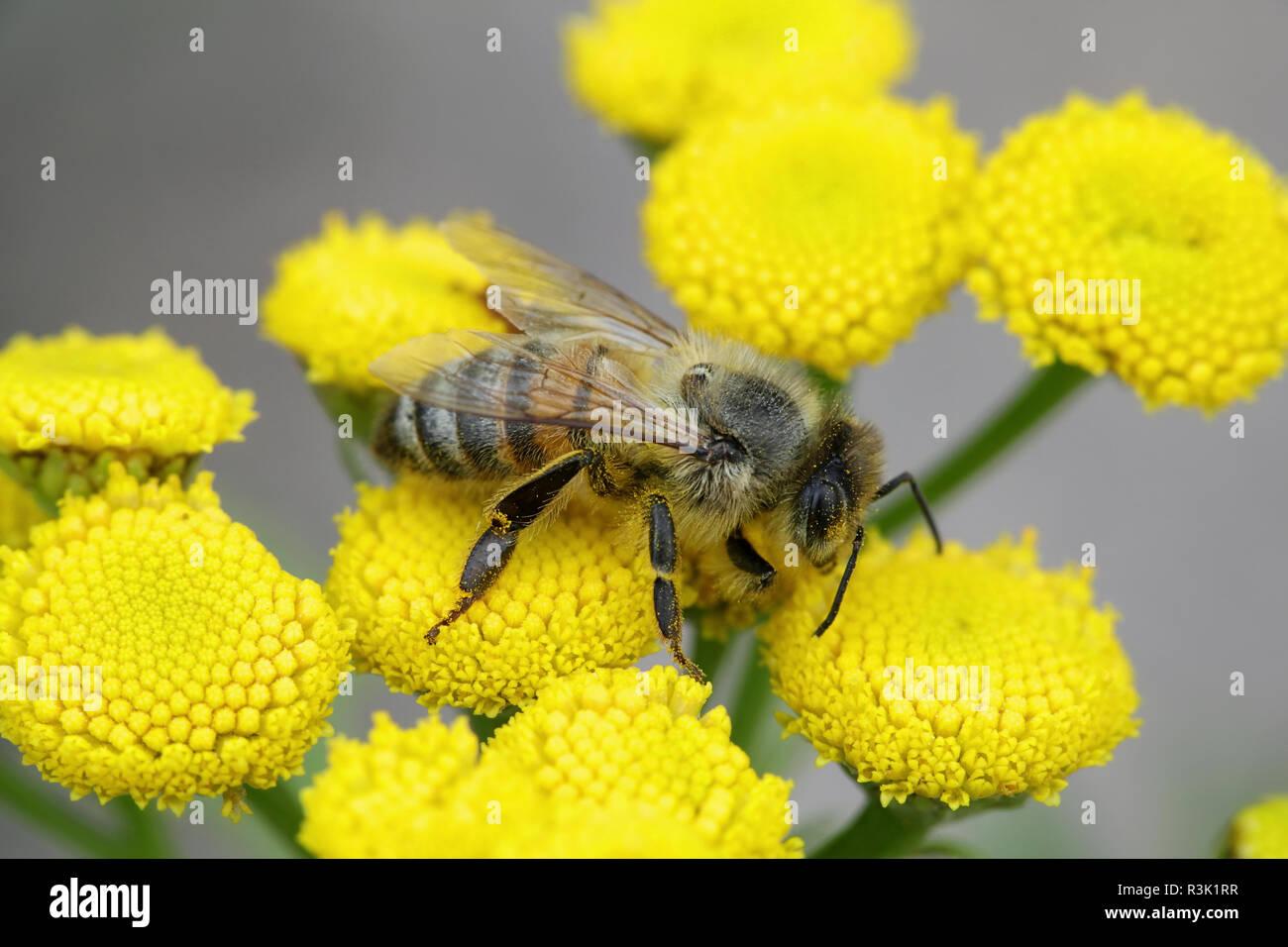Honey bee, Apis mellifera, important pollinator - Stock Image