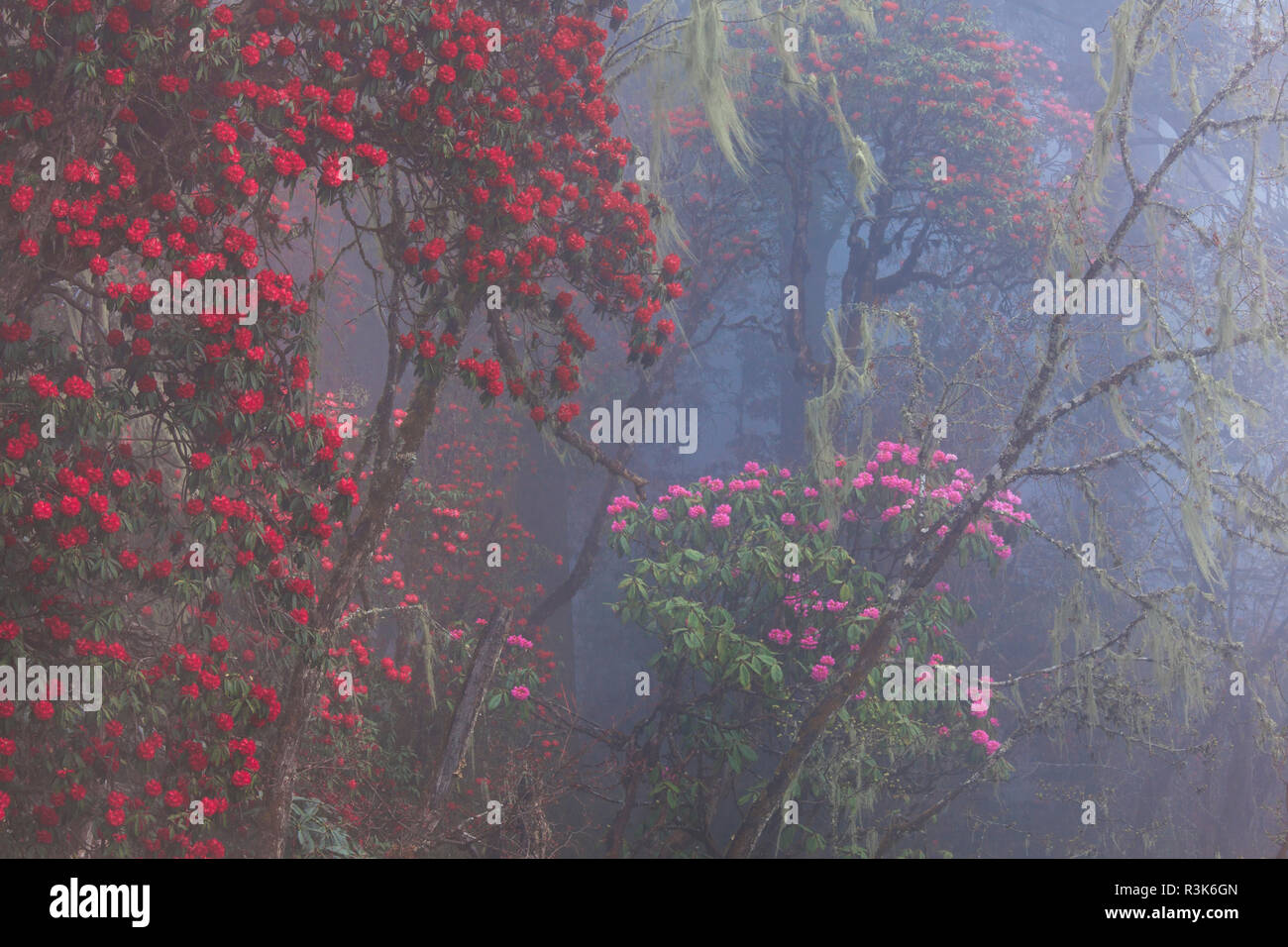 Rhododendron in bloom in the forests of Paro Valley, Bhutan Stock Photo