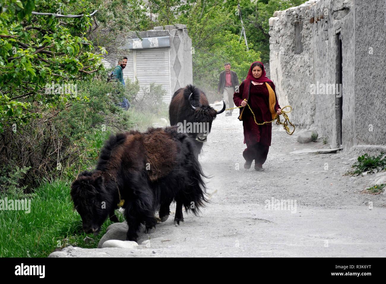Pakistan, Passu village, yak - Stock Image