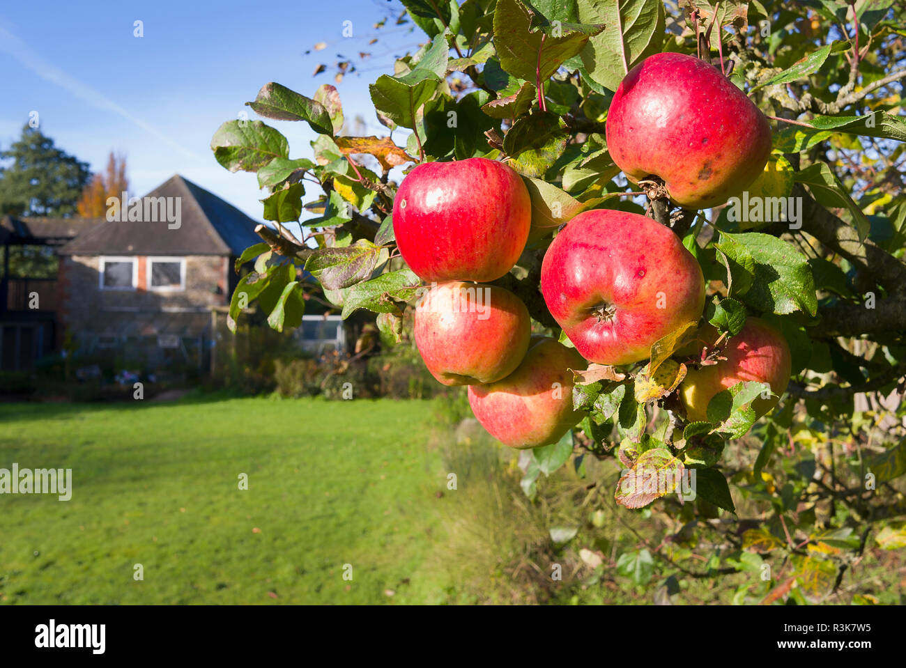 Rosy red ripe apples growing on a tree in an English garden in November. Ready for picking and storing over winter. Variety is multi-purpose - Stock Image