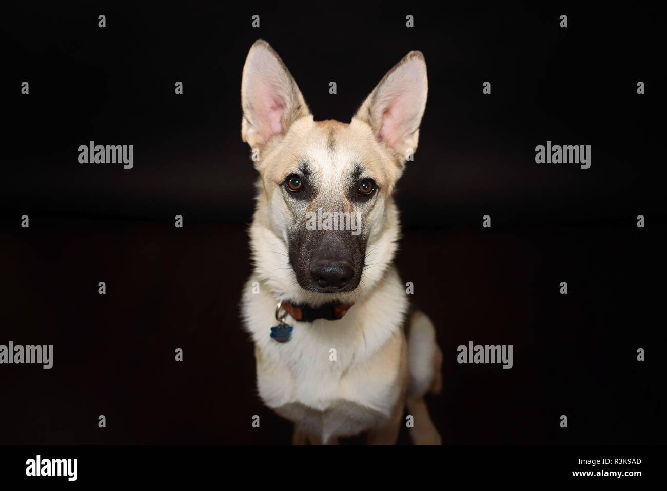 Studio Pet Portrait of a Beautiful Young German Shepherd Dog in Studio against a Black Backdrop. - Stock Image