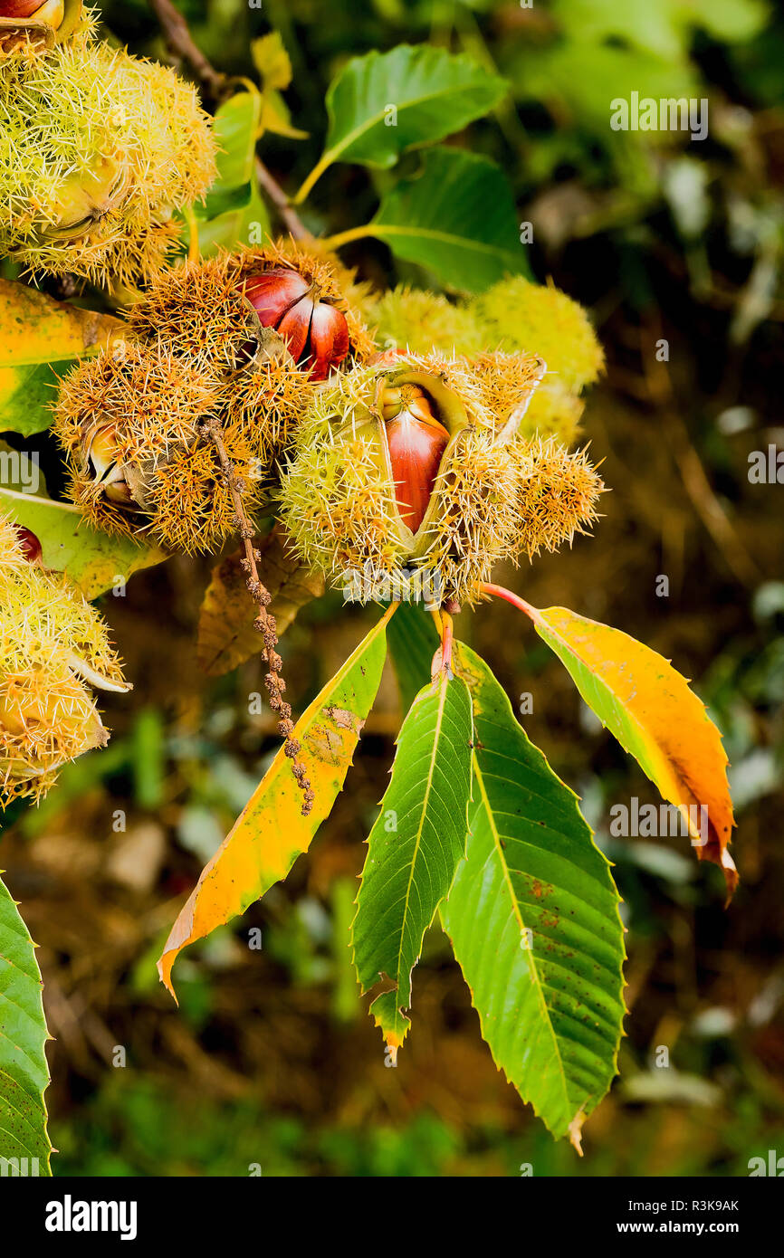 Ripe sweet chestnuts bursting open their seed cases while still attached to a growing chestnust tree in an English garden - Stock Image