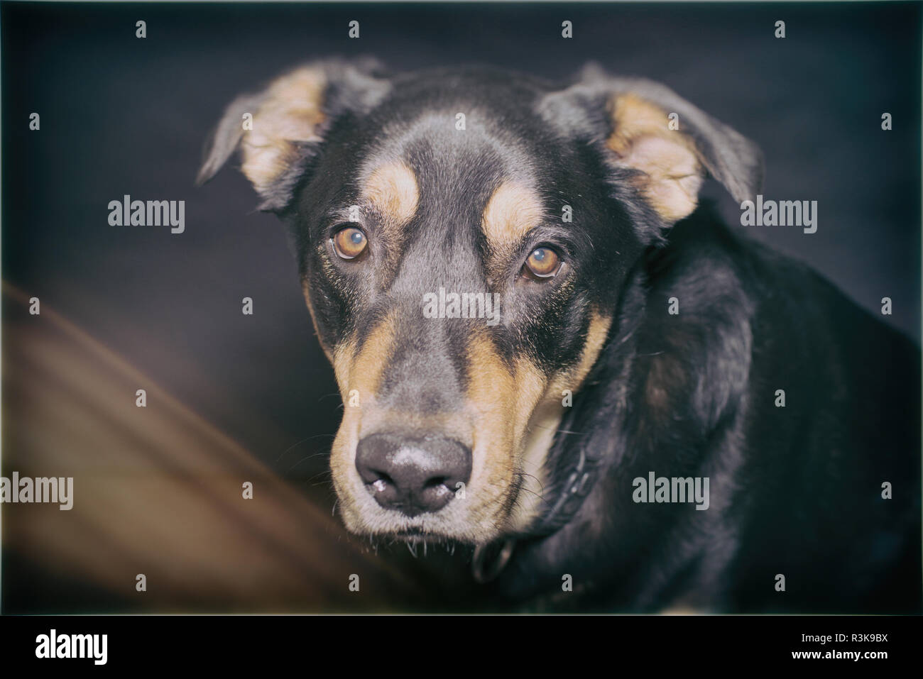 Handsome Black and tan Rescue Dog poses in Studio against a Black Background - Stock Image