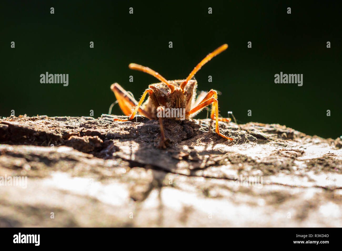 Western conifer seed bug insect, Leptoglossus occidentalis, or WCSB, crawling on wood in bright sunlight - Stock Image