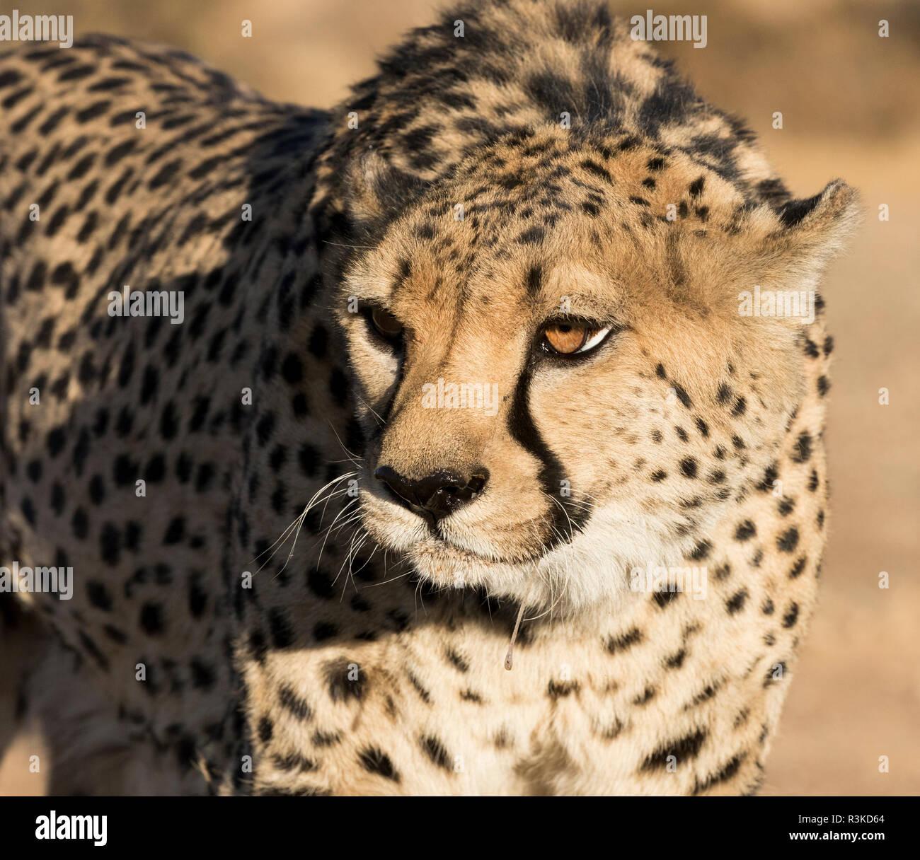 Africa, Namibia, Keetmanshoop. Portrait of cheetah. Credit as: Wendy Kaveney / Jaynes Gallery / DanitaDelimont.com Stock Photo