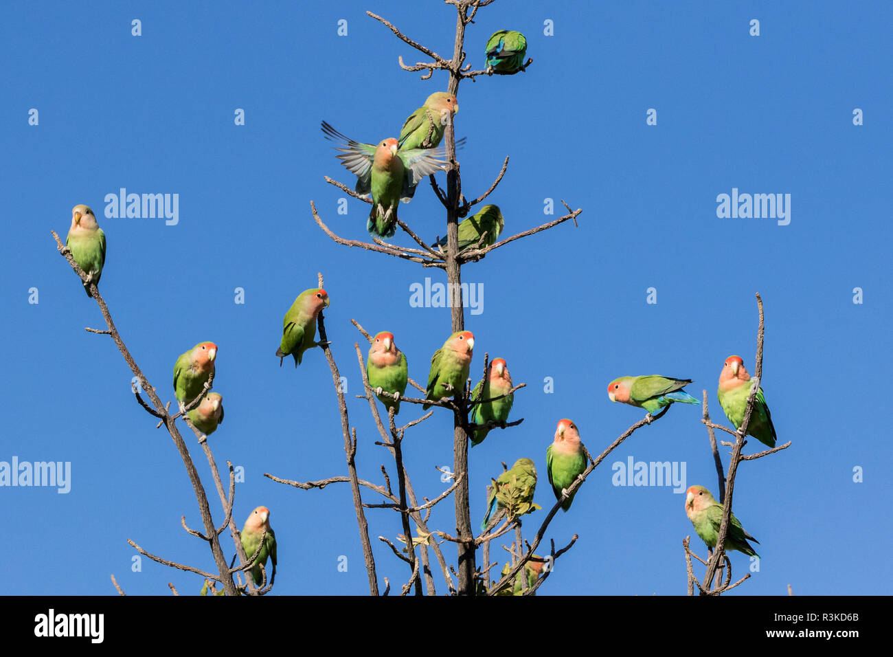 Africa Namibia Keetmanshoop Rosy Faced Lovebirds On Tree Credit As Wendy Kaveney Jaynes Gallery Danitadelimont Com Stock Photo Alamy