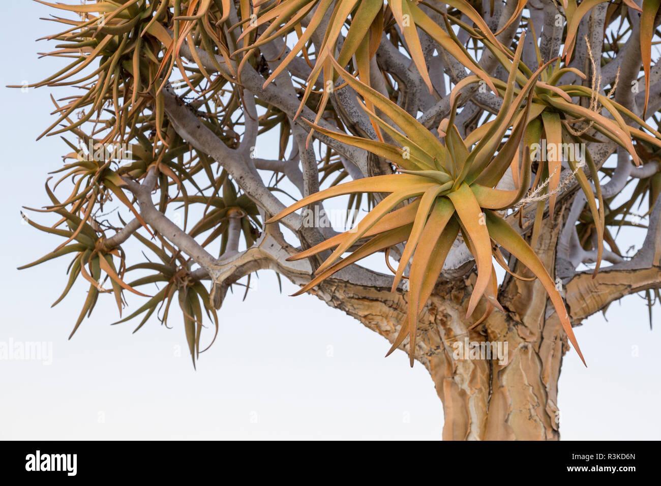Africa, Namibia, Keetmanshoop. Quiver tree top. Credit as: Wendy Kaveney / Jaynes Gallery / DanitaDelimont.com Stock Photo