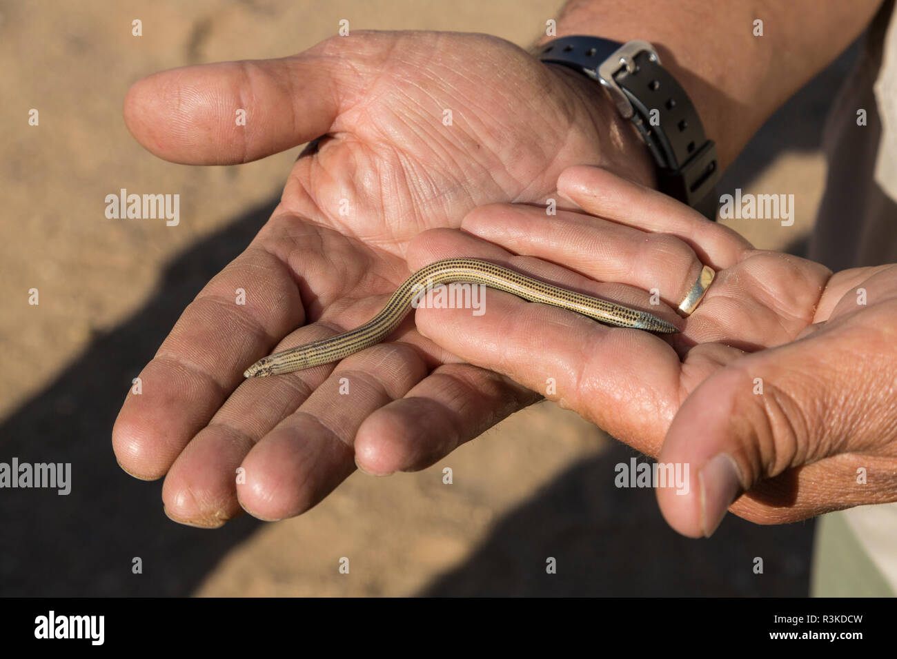Man holds a FitzSimon's burrowing skink (Typhlacontias brevipes) in the dunes near Swakopmund, Namibia. - Stock Image