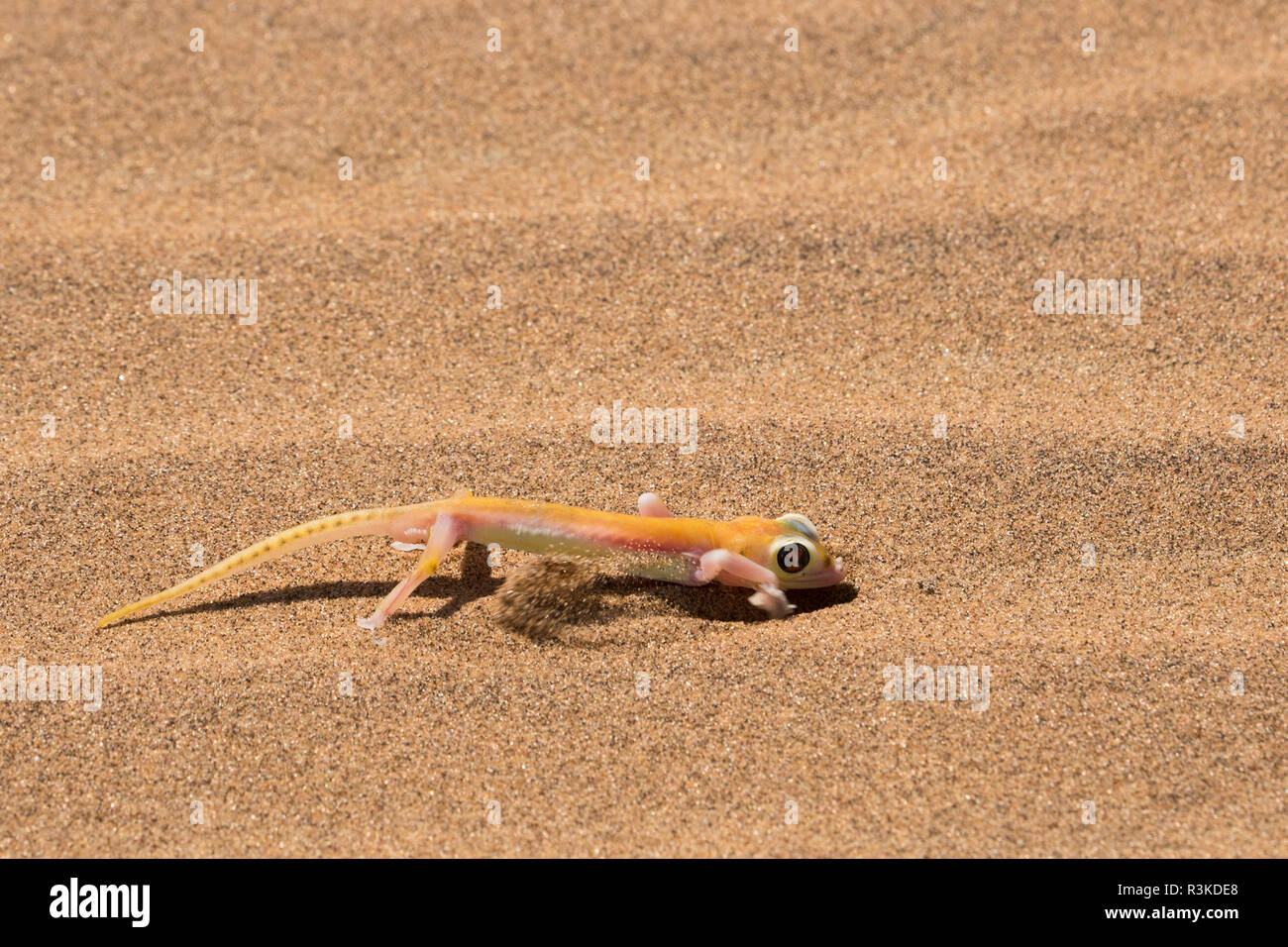 Colorful web-footed or Palmatogecko gecko, Pachydactylus rangei, digging to go underground, nocturnal and has large light-sensitive eyes. Stock Photo