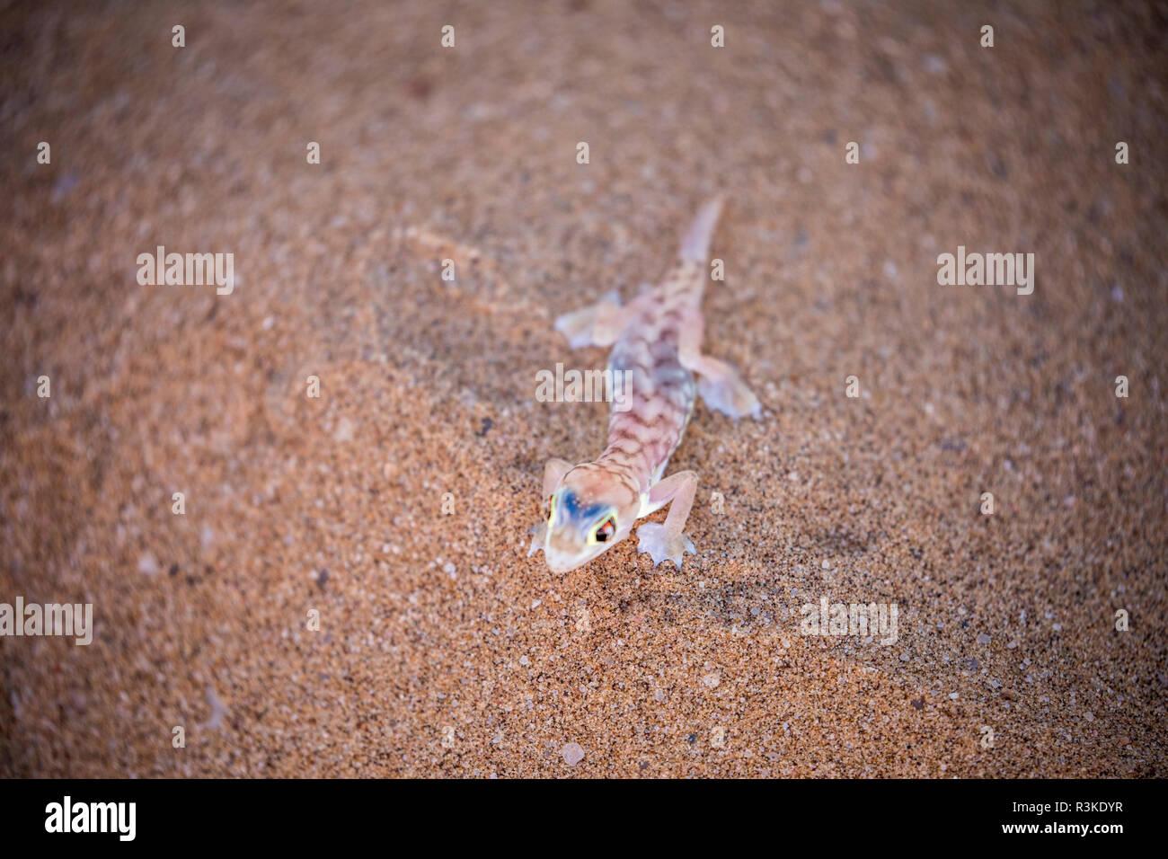 Africa, Namibia, Namib Web-footed Gecko in Desert outside Swakopmund Stock Photo
