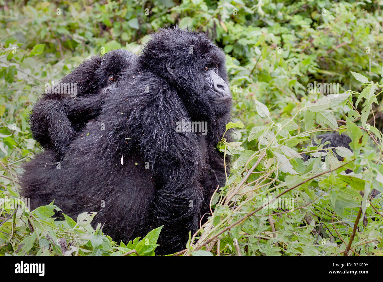 Virunga Mountains, Rwanda, Africa. Mountain Gorillas. - Stock Image