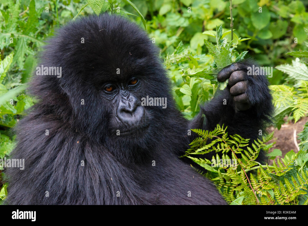 Gorilla in the forest, Parc National des Volcans, Rwanda - Stock Image